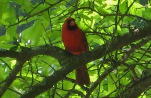 Cardinal-serenade